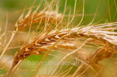 Wheat with High Protein; min 15,3%
