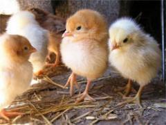 Купить Цыплята мясо-яичных пород кур