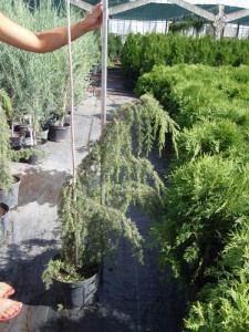 Juniperus Communis (juniper ordinary) Horstmann