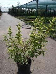 Weigela florida (Veygela Tsvetushchaya) 'Nana
