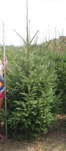 Picea Abies (Ель Обыкновенная)