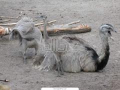 Молодняк страусов купить, молодняк страусов