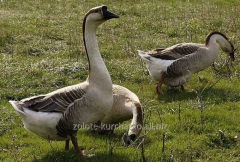 Gooses of breed gray Kuban
