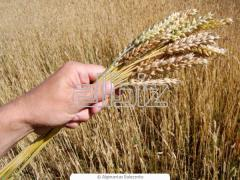 Purchase by wholesale of grain