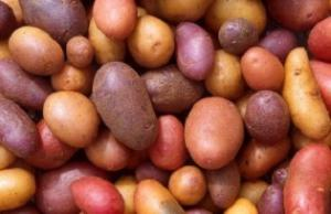 Картофель сорта Ривьера  урожай 2019 года