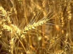 Культура зерновая