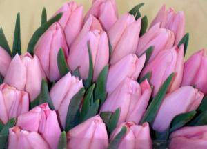 Тюльпаны оптом. Тюльпаны срезанные к 8 марта