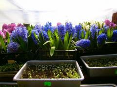 Hyacinths in a pot for March 8