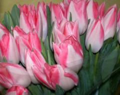Тюльпани багатобарвні. Каталог тюльпанів, сорту