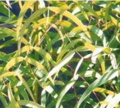 Leaf of an eucalyptus of prutevidny (Folium