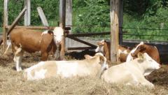 Heifers breeding Import to order high-eco-friendly