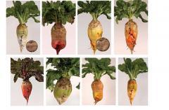 Seeds of fodder beet, the Polish selection,