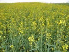 Суданка семена (однолетник), Украина