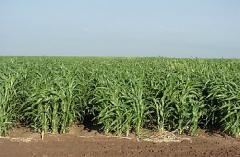 As sementes da grama sudanês sudanês, sorgo (capim-Sudão, sudanka)