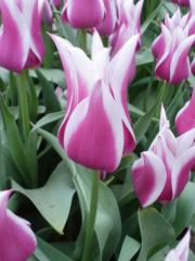 зріз тюльпана великий і середній опт
