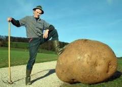 Картофель семенной крупным и мелким оптом