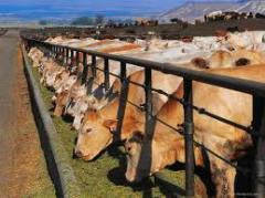 Скот крупный рогатый мясной