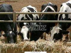 Скот крупный рогатый