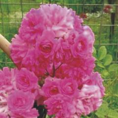 Розы, плетистые розы