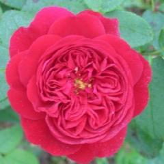 Розы, английские розы