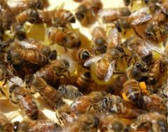 Бджолині сім`ї