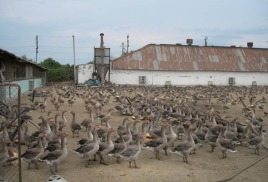 Gooses daily breeds Large gray