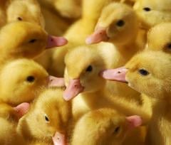Ducklings daily