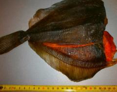 Fish dried flounder ikreny Far Eas