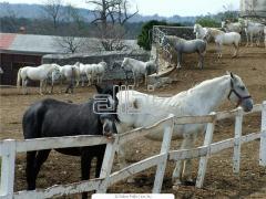 Лошади верхово-упряжные
