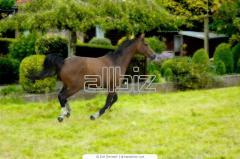 Лошади чистокровные верховые