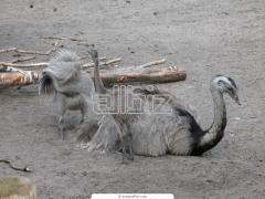 Молодняк страусов купить Украина, страусята цена