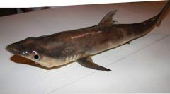 Effigy of a shark the price in Ukraine and other