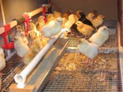 Chickens daily, Ukraine