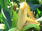 We sell corn seeds.