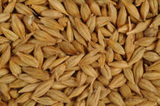 Seeds of barley ardent, winter.