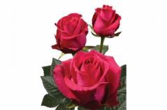 Dutch rose