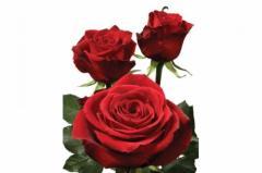 Dutch rose red