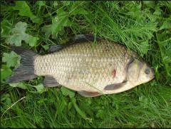 Crucian carp, freshwater fish, fish stocks, fish