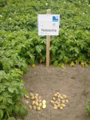 Seed potato for successful Business srednepozdny
