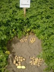 Seed potato of high reproductions