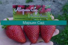Продаем СВОЮ рассаду земляники садовой (клубники)