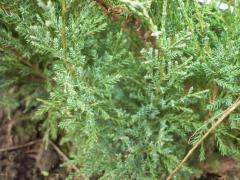 Можжевельник казацкий Tamariscifolia80-100см