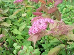 Спирея японская Крупнолистная (Spiraea japonica
