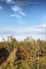 Currant saplings, apple-tree Saplings m9.