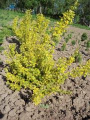 Форчуна изумруд и золото euonymus fortunei