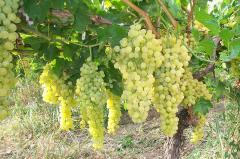 I will sell grapes saplings