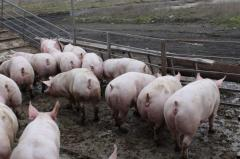 Cultivation and sale of pigs of bacon breed