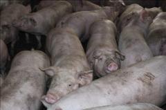 Свиньи беконной породы, гибрид пьетрена