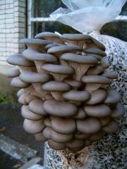 Мицелий вешенки расфасован по 5 кг.