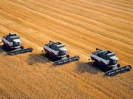 Grain crops